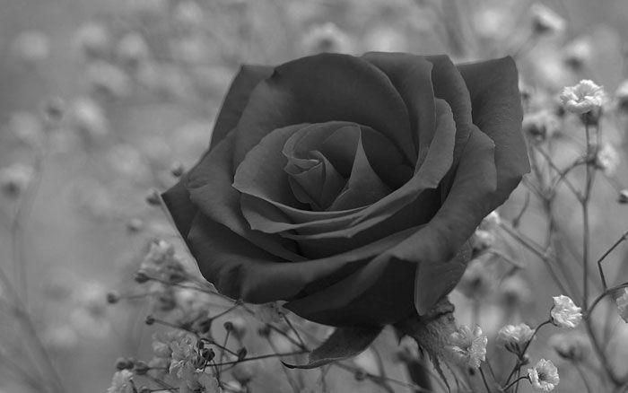 flor-rosa-0